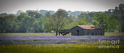 Bluebonnets By The Barn Poster