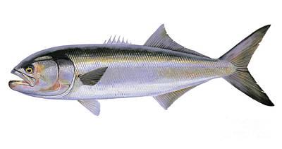 Bluefish Poster