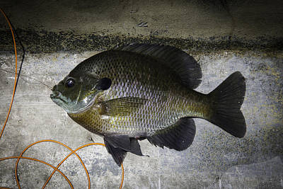 Bluegill Poster by Thomas Young