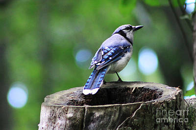Poster featuring the photograph Bluejay by Alyce Taylor