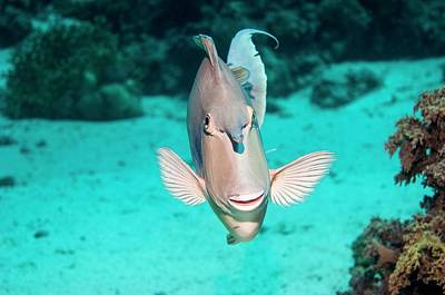 Bluespine Unicornfish By A Reef Poster