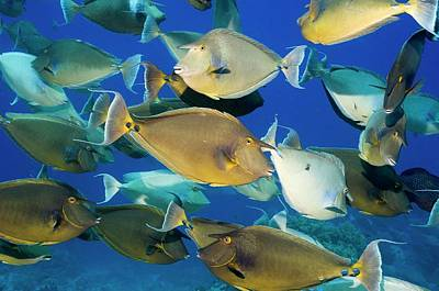 Bluespine Unicornfish Over A Reef Poster