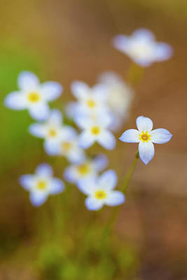 Bluets, Houstonia Caerulea Poster by Jerry and Marcy Monkman
