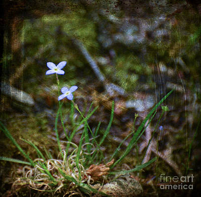 Bluets Woodland Dream Poster by Kerri Farley