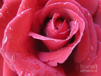 Blushing Pink Rose 4 Poster by Tara  Shalton
