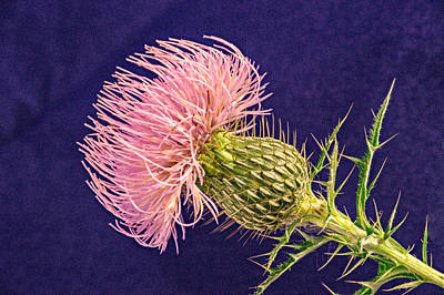Blushing Pink Thistle Blossom Poster