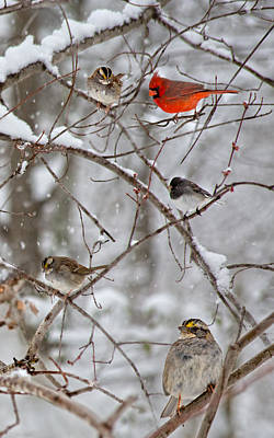 Blushing Red Cardinal In The Snow Poster by Betsy Knapp