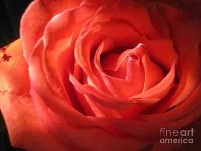 Blushing Orange Rose 1 Poster