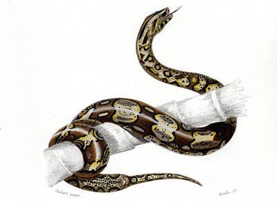 Boa Constrictor Poster