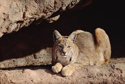 Bobcat Adult Resting On Rock Ledge Poster by Tim Fitzharris