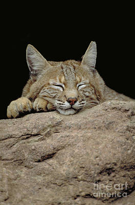 Bobcat, Arizona Poster by Art Wolfe