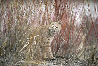 Bobcat Juvenile Emerging From Dry Grass Poster by Michael Quinton