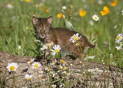 Bobcat Kitten In The Flowers Poster