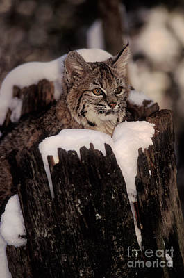 Bobcat Kitten Poster by Ron Sanford