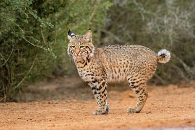 Bobcat (lynx Rufus Poster