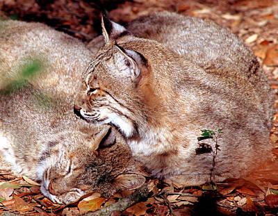 Bobcat Lynx Rufus Poster