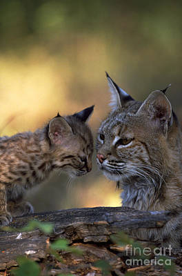 Bobcat With Kitten Poster