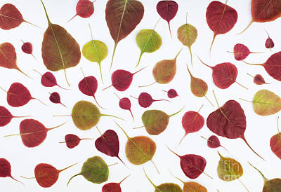 Bodhi Leaf Pattern Poster