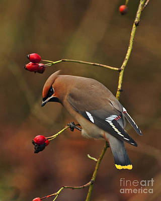 Bohemian Waxwing Poster by Paul Scoullar