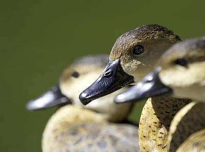 Bokehlicious Ducks Poster