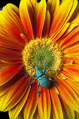Boll Weevil On Mum Poster by Garry Gay