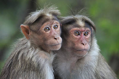 Bonnet Macaque Pair Huddling India Poster