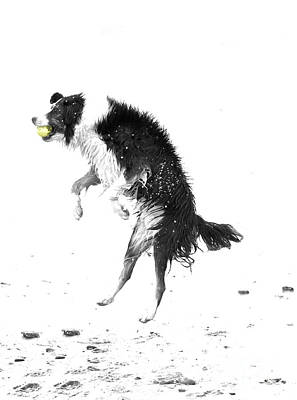 Border Collie And Tennis Ball Poster by Jan Tyler