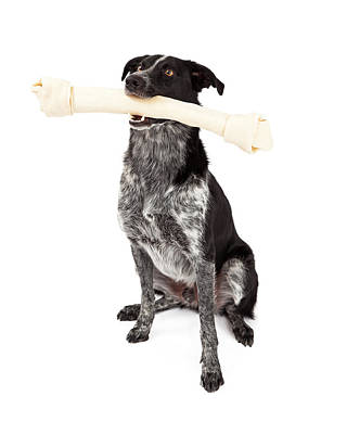 Border Collie Carrying Bone Poster by Susan Schmitz