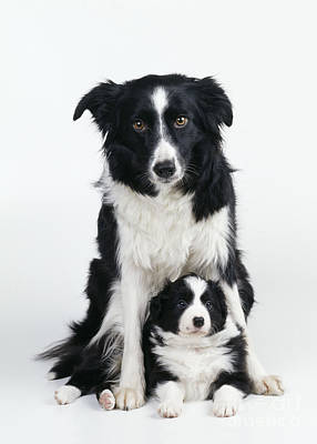 Border Collie Dog & Puppy Poster by John Daniels