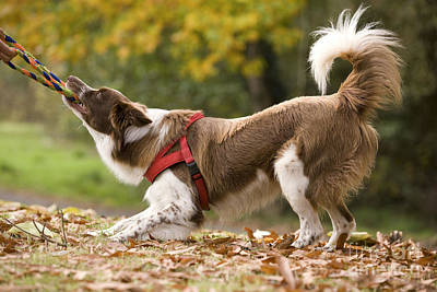 Border Collie Playing Poster