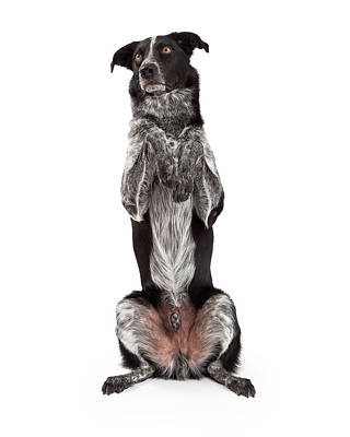 Border Collie Sitting Paws Up Poster by Susan Schmitz