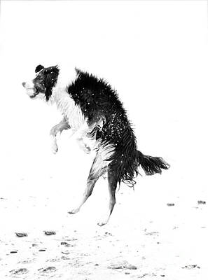 Border Collie With Ball Poster by Jan Tyler