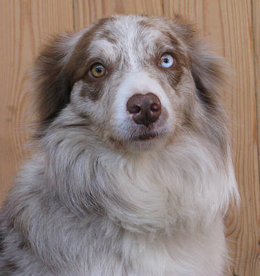 Border Collie With Blue-eyed Poster