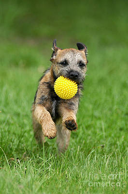 Border Terrier Dog Playing With A Ball Poster by Dog Photos