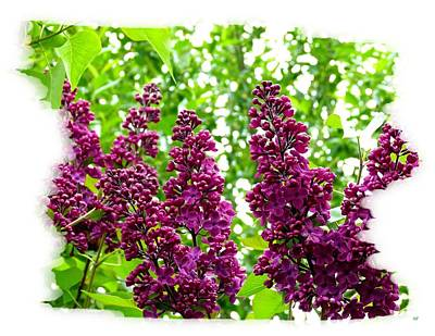 Bordered Purple Lilacs Poster by Will Borden