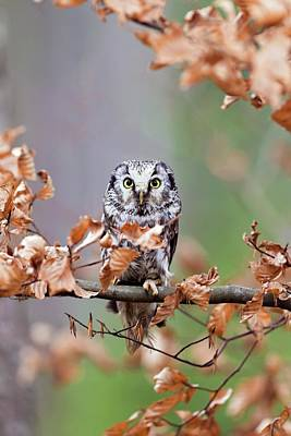 Boreal Owl Poster by John Devries