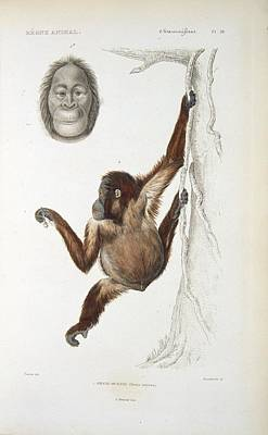 Bornean Orangutan, 19th Century Poster by Science Photo Library