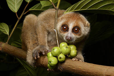 Bornean Slow Loris At Night Kuching Poster by Ch'ien Lee