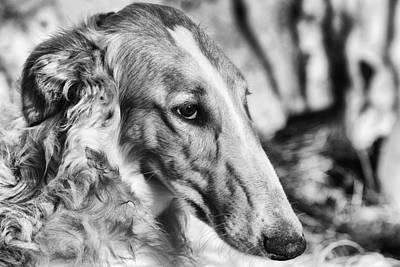 Borzoi Dog Portrait Poster