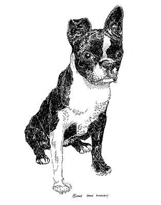 Boston Bull Terrier Poster by Jack Pumphrey