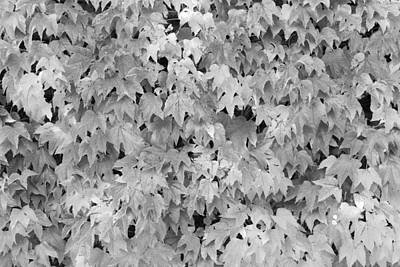 Boston Ivy In Monochrome Poster by Semmick Photo