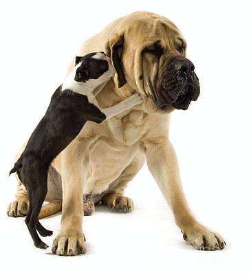 Boston Terrier And Mastiff Poster by Jean-Michel Labat