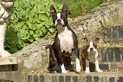 Boston Terrier And Puppy Poster by Jean-Michel Labat