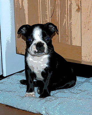 Poster featuring the photograph Boston Terrier Art02 by Donald Williams