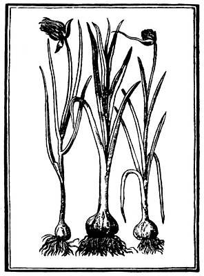 Botany Garlic, 1579 Poster