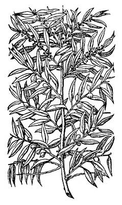 Botany Olive Tree, 1579 Poster