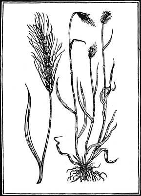 Botany Rye, 1579 Poster