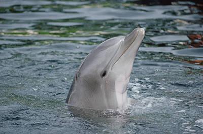 Bottlenose Dolphin Group Underwater Poster