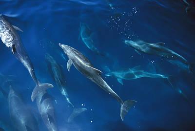 Bottlenose Dolphin Pod Galapagos Islands Poster
