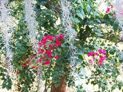 Bougainvillea 1 Poster by Judy Via-Wolff
